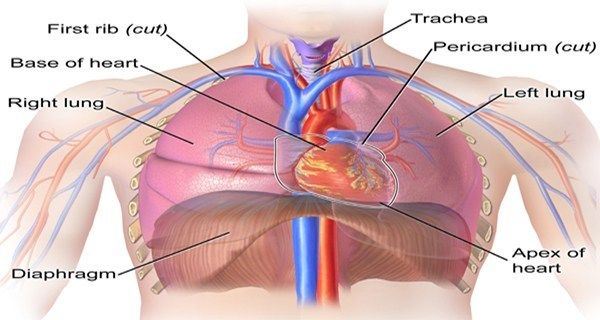 Thoracic Cavity Overview In 2020 Thoracic Cavity Thoracic Heart Location