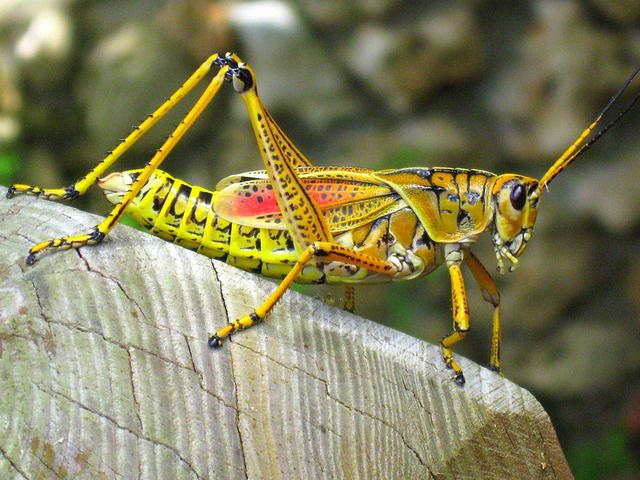 U.s. Grasshoppers 322 best images about ...