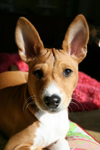 Basenji...Re-pinned by StoneArtUSA.com ~ affordable custom pet memorials since 2001