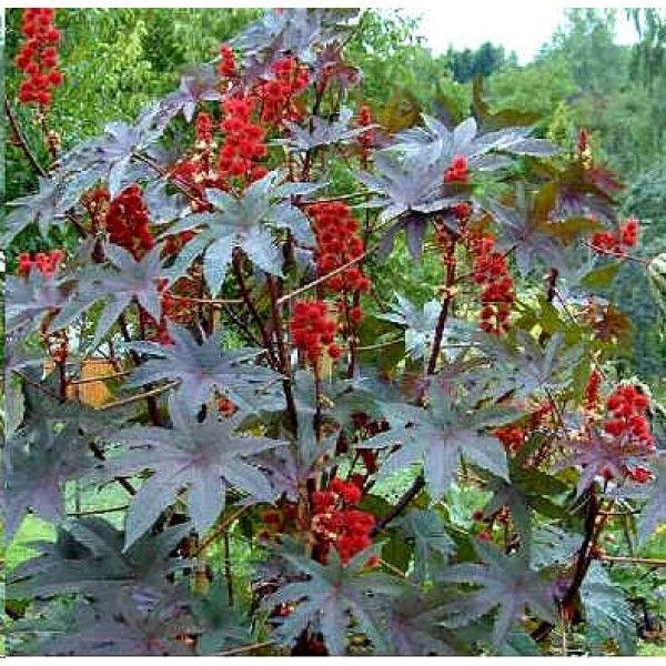 Ricinus Communis Seeds (Red Castor Bean Plant Seeds, Castor Oil Plant Seeds)