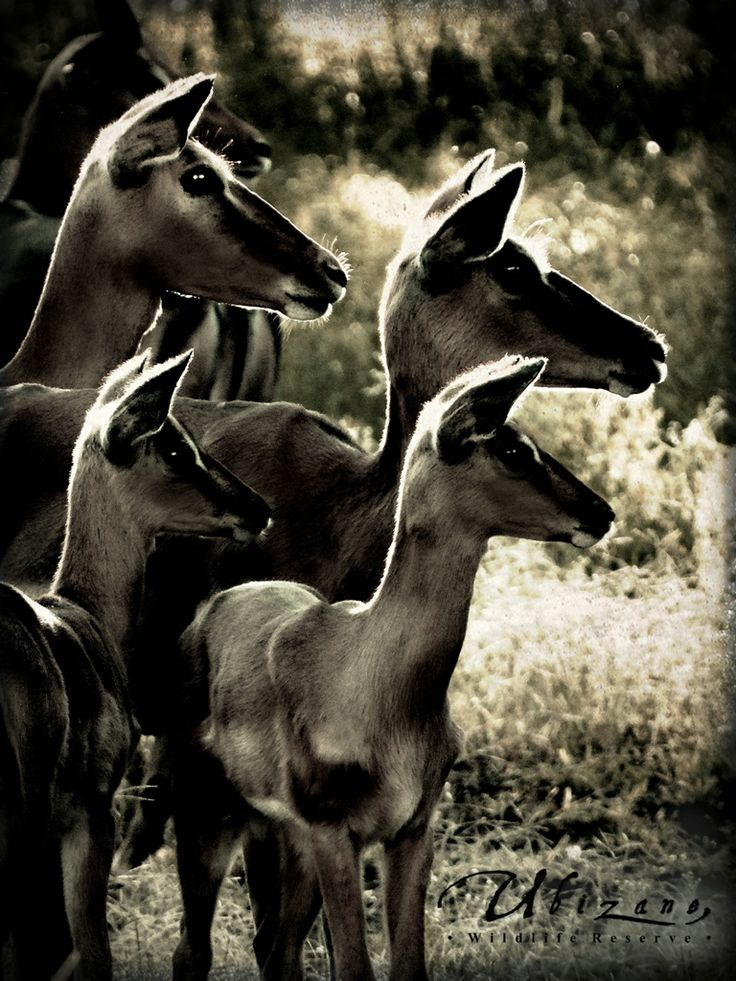 A herd of Impala came to visit while I was doing some gardening on my day off. Love this place!