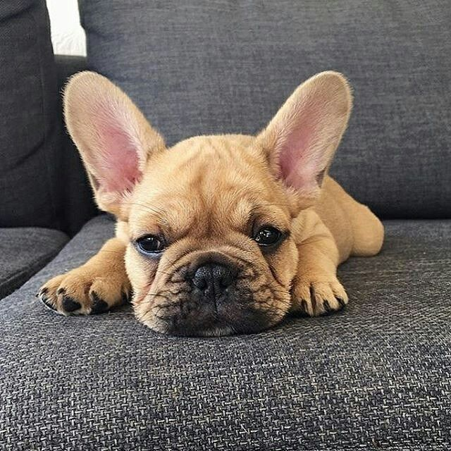 """I'm Pouting all day for no better reason than its Thursday"", Gatsby, the bored French Bulldog Puppy, @gatsby_frenchie"