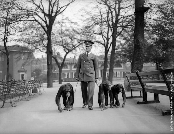Zookeeper takes chimps for a walk- London Zoo 1931
