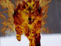 lobos de fogo - Pesquisa Google