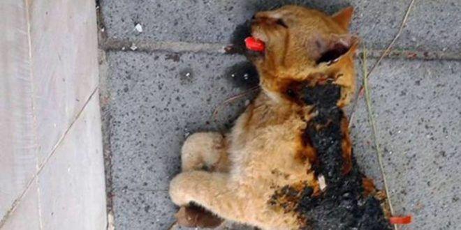 Tortora (CS): il gatto mezzo bruciato, col petardo in bocca. Parla Lega del Cane
