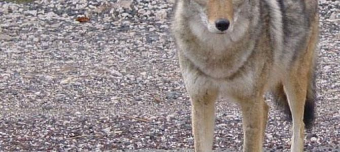 Lock Up Your Pets! Coyotes on the Prowl in the Big City