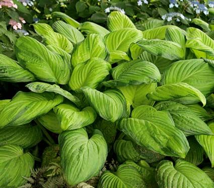 Hosta Guacamole  An aptly named rich green, large-leaved variety with chartreuse centers (the color of freshly sliced avocado) edged with a wide, dark green margin. The large, fragrant white flowers of 'Guacamole' add spice late in the season.