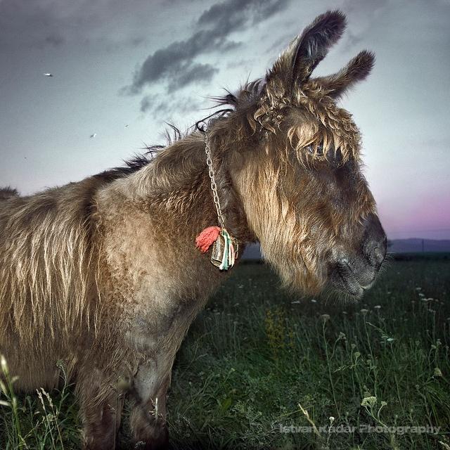 'Szekler Donkey' by Istvan Kadar.