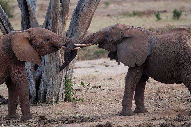 Gioco di elefanti - Tsavo est Safari 28 Luglio 2013