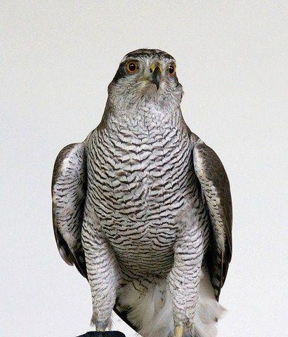 Der Habicht ein schöner Greifvogel