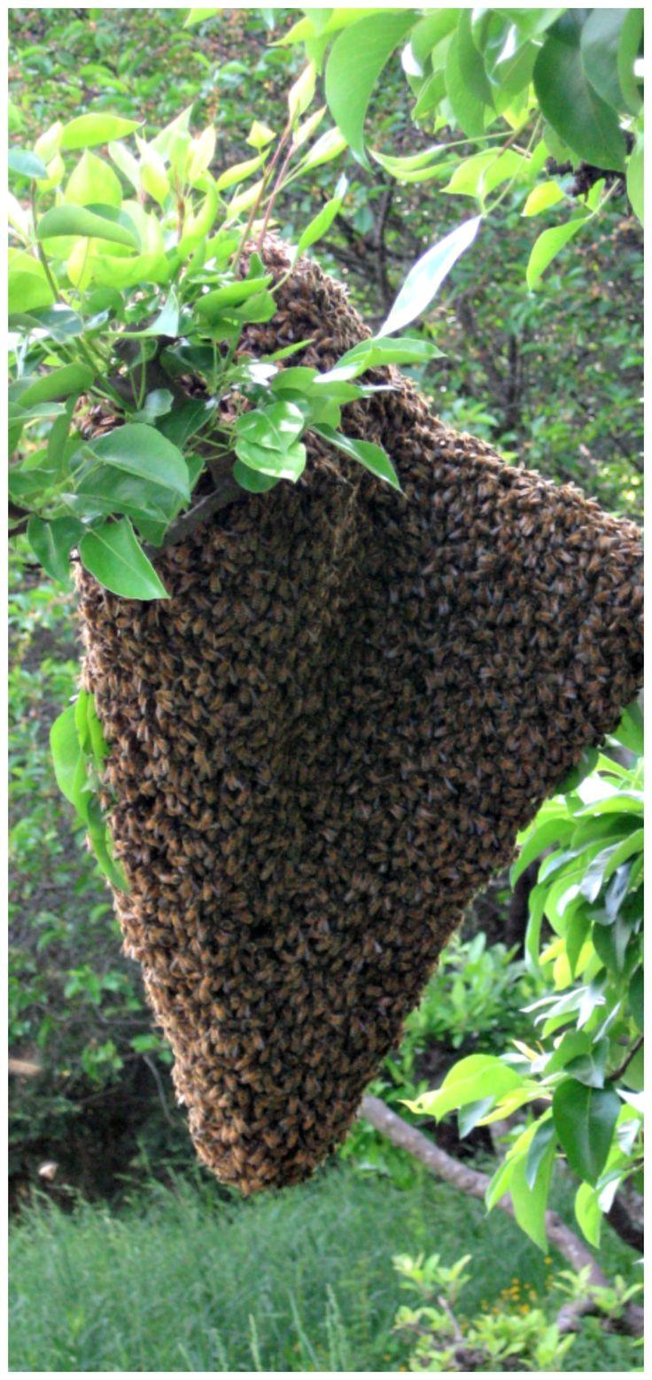 Awesome Capturing a swarm http thegardendiaries wordpress