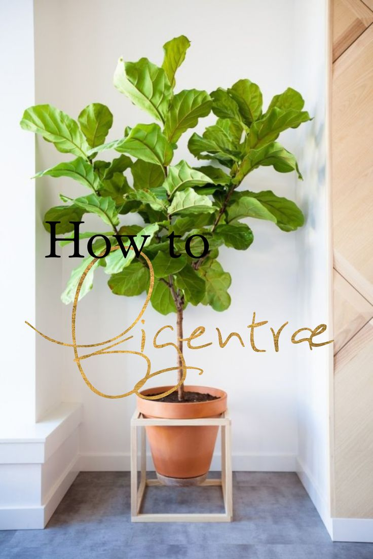 How to care for a fig tree