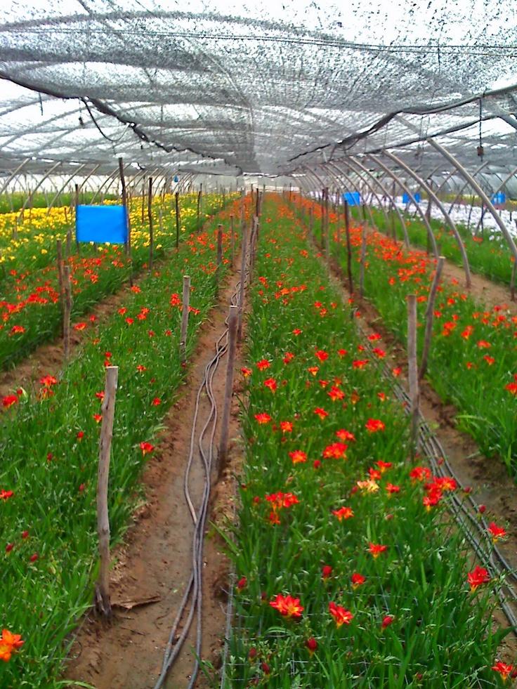 Freesia 'Figaro' starting to bloom in Morocco