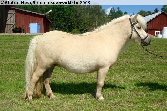Shetland Pony mare Therra v.h. Aeghterhuus Shetland