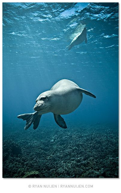 The Hawaiian Monk Seal is one of only two endemic mammals to Hawaiʻi (the other is the Hoary Bat)