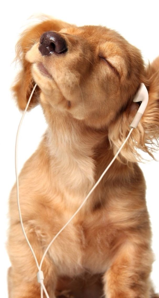 Golden Retriever Puppy Listening To Music The Dog Days Are Over Or