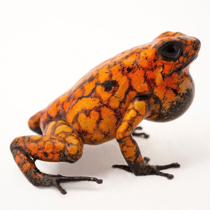 """1,858 Likes, 11 Comments - Joel Sartore- Photo Ark (@joelsartore) on Instagram: """"This little frog, known by its Spanish name """"Diablito"""", can be found in the lowland rainforests of…"""""""
