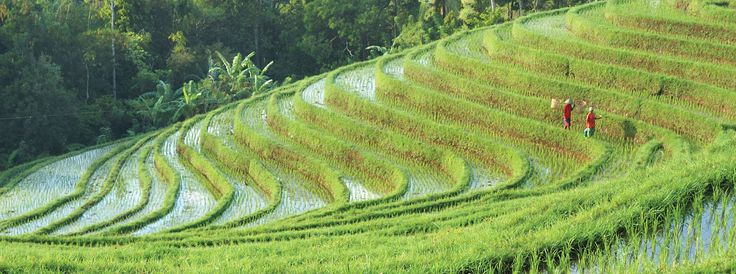 Walking the rice paddy terracess of Ubud