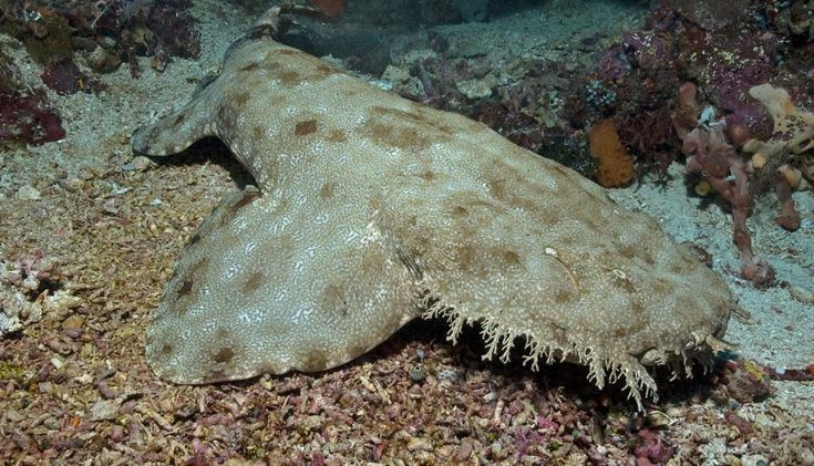 Carpet Shark Orectolobiformes From The Group