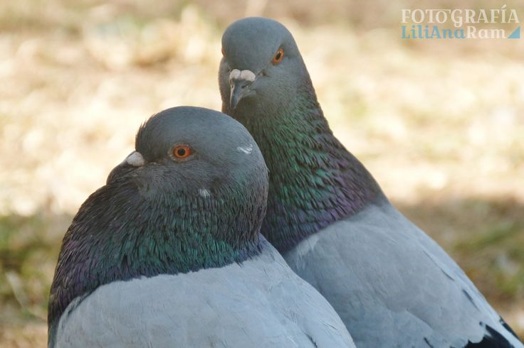 Paloma, pigeon.