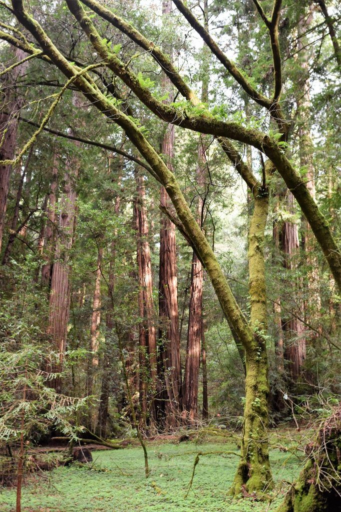 Muir Woods National Monument Hiking With Toddler | San Francisco Bay Area, California, things to do