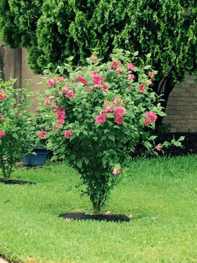Althea Rose Of Sharon Tree Garden Flowers Pinterest