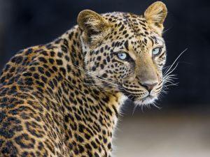 Un leopardo mirando atentamente