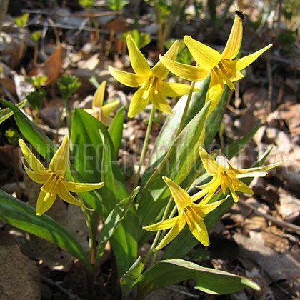 image de Erythronium americanum