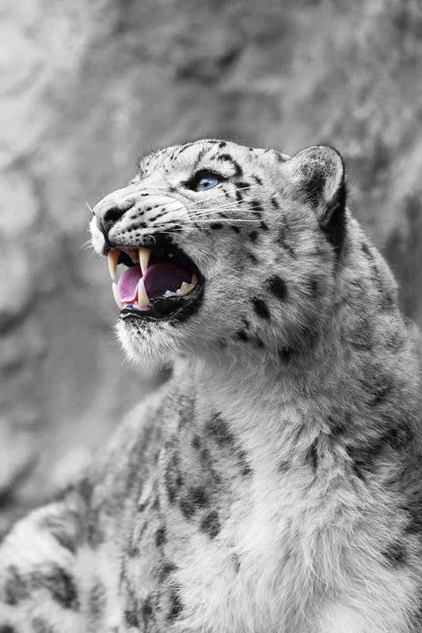 Call of the Snow Leopard by Johannes Wapelhorst on 500px