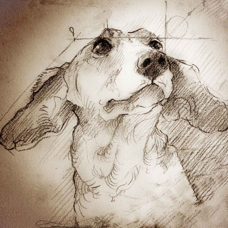 """Dachshund Looking Up"" Detail of a Da Vinci style drawing"