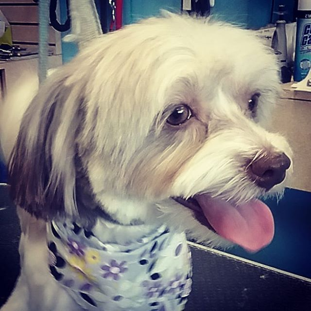 Macy Wagsmytail Tucsondoggrooming Doggrooming A Well Groomed Dog Is A Well Loved Dog Call Us Today To Schedule Your Dog Groomin Pet Grooming Dog Grooming Pets