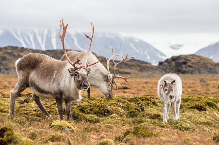 Wild reindeer family in Spitsbergen, Svalbard #Svalbard #travel #sunvil