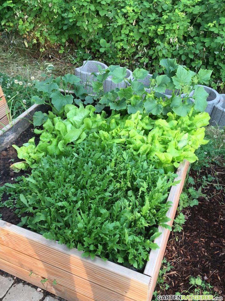 Ein Hochbeet mit Rucola und Schnittsalat sollten Sie zwischen Mitte August und Mitte September anbauen.