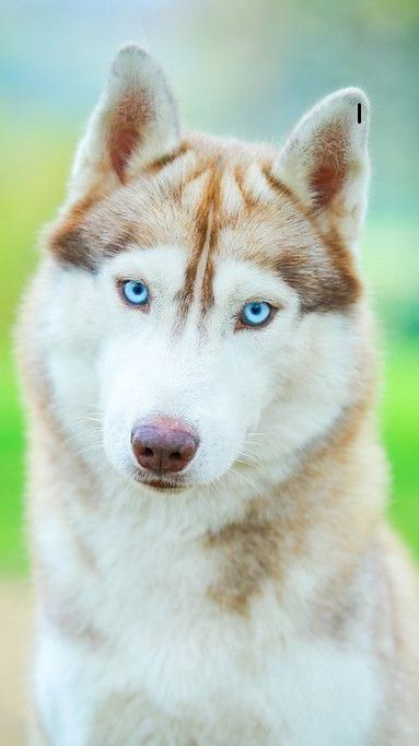 Brown Husky