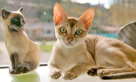 small cat breeds that stay small singapura | Singapura Cat