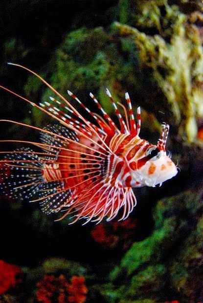 Lion fish ( of-fish-illy ) officially named the red lion fish ✔️