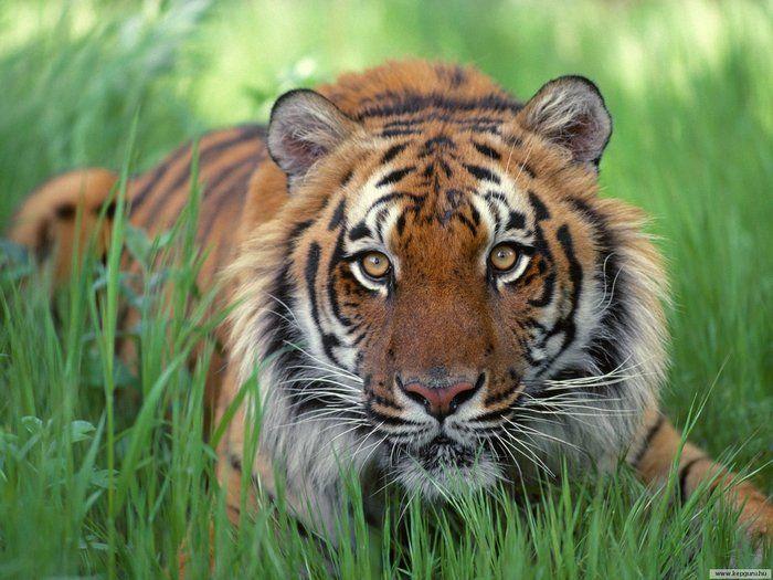 Уссурийский, он же амурский, он же дальневосточный... ТИГР. (Far Eastern Amursky ... Ussurian tiger.)