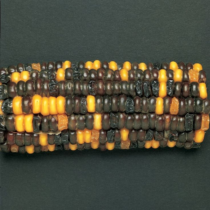 This gallery was created during the Corn Genetics and Chi Square Analysis Lab. Students counted the number of purple and yellow kernels, counted the number of smooth and shrunken kernels and then used a chi square analysis to show that a 9:3:3:1 ratio was evident. These pictures can also be substituted for real corn.