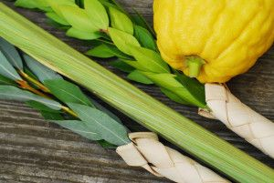 """Lulav & Etrog: The Four Species // """"On the first day you shall take the product of hadar trees, branches of palm trees, boughs of leafy trees, and willows of the brook, and you shall rejoice before Adonai your God seven days."""" """"Fruit of goodly trees"""" refers to the etrog (citron). """"Branches of palm trees"""" refers to the lulav. """"Boughs of leafy trees"""" refers to the myrtle (hadasim). """"Willows of the brook"""" refers to the aravot or hoshanot. // <<How do you wave these things? Watch a demo video…"""