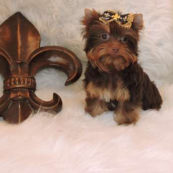 New Yorkie Puppies Yorkies For Sale Elvis Yorkshire Terrier Miniature Micro