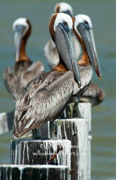 Dan Williams Bird Photography-Brown Pelicans