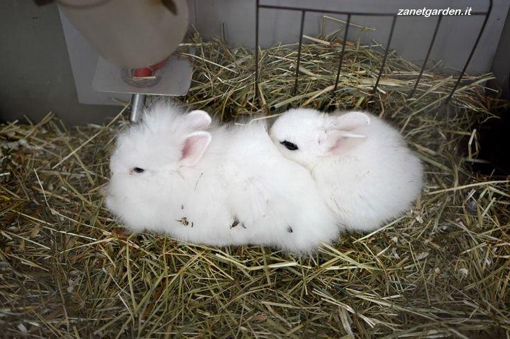 coniglietti nani