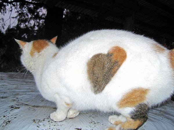 ウチの牛舎猫エリカ様の横腹にある❤マークです。。。 #heartpix