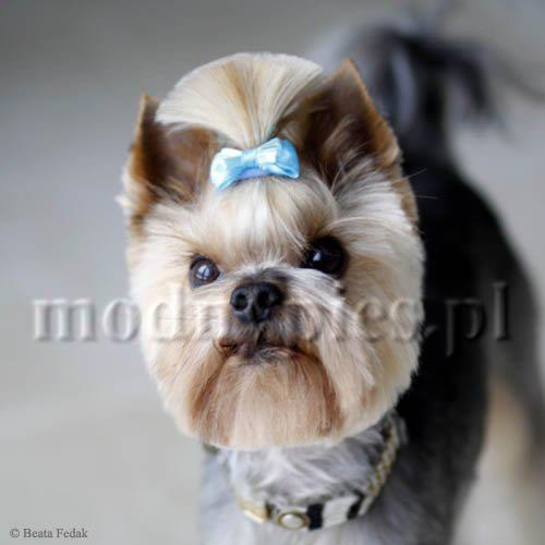 38 best grooming ideas images on pinterest little dogs dog creative dog grooming see more yorkshire terrier haircut solutioingenieria Gallery