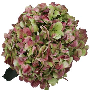Antique Green Red Hydrangea Extra Large. Pair these with many different types of flowers such as peony, rose, freesia, or keep alone for bridesmaid bouquets. The ideas are limitless.