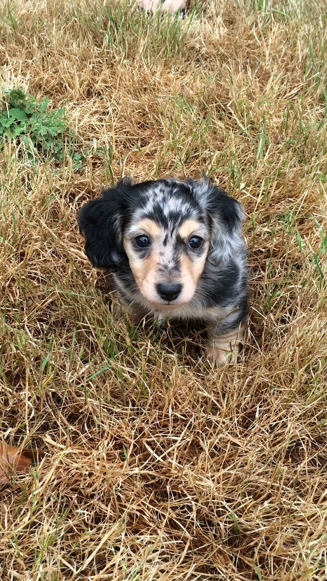 Black and cream dapple dachshund puppy