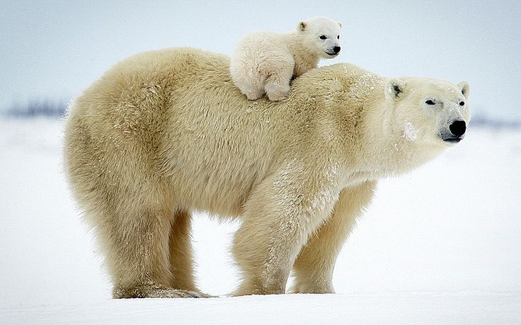 A polar bear cub takes a ride on its mother's back. The heart-warming image was taken in the Wapusk National Park, Canada by accomplished wildlife photographer David Jenkins, who documented the area over the space of ten years