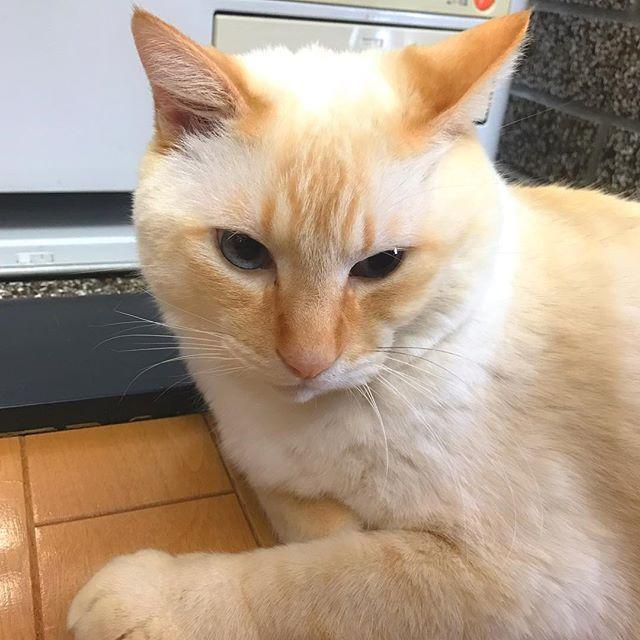 . . おつかれさま(*´ー`*)ノ. . お昼にランチしに行ったとこの 猫ちゃん ( ´艸`). めっちゃ大きくて大人しくて いくらなでなでしても rairaiの様にガブリエルにはならず あーーーーネコ好きの友を連れて また行きたい! と思いました ( ´艸`)♡. . #instacat#ねこ#cat#ふわもこ#猫#猫部#癒し#かわいすぎる#キジトラ#お腹はもふもふ#catstagram#kitty#cats#ペコねこ部#ネコ#ねこすたぐらむ#猫好き#cute#love#天使#neko#愛猫#catlove
