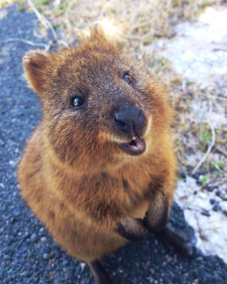Small Animal Reptiles And Amphibian Habitats: 25+ Best Ideas About Quokka Baby On Pinterest