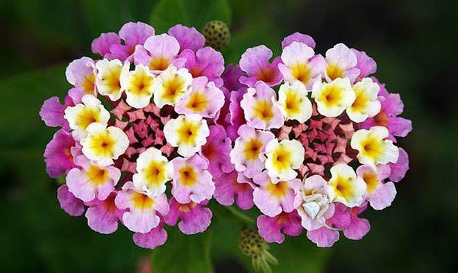 LANTANA - CARIAQUITO MORADO flores mas hermosas del mundo lantana